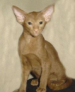 ориентальный котенок окраса циннамон