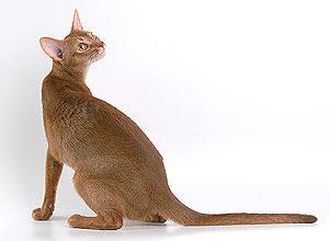 абиссинская кошка окраса соррель (циннамон)