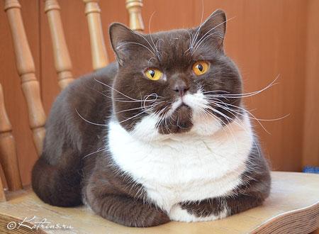 Британские котята короткошерстные, кошки, коты - питомник ... | 330x450
