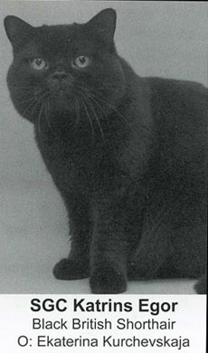 Katrin's Egor, british shorthair black
