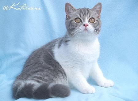 Британский кот рисованный