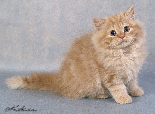 фото британские пушистые котята