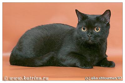 Katrin s erisione британская черная кошка