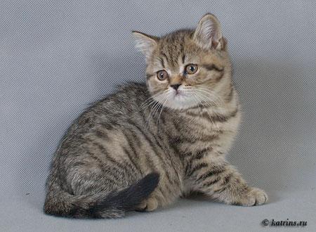 Британские кошки вислоухие кошки и