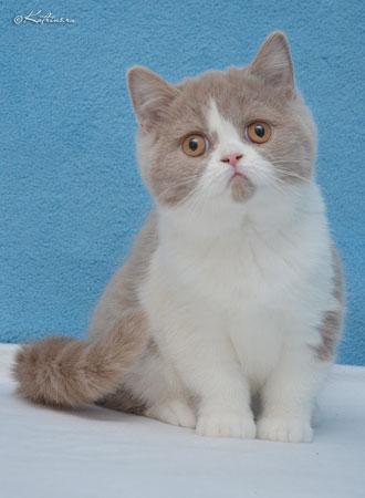 Почему котята британские кусаются 132